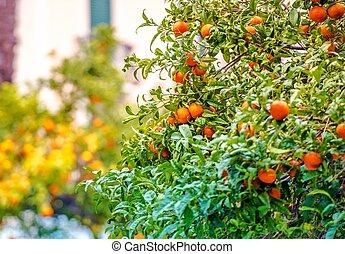 Mandarin Trees of Riviera - Mandarin Trees of Italian...