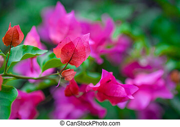 Pink bougainvillea flower - Close up of pink and magenta...