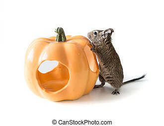 Little chilean degu near its pumpkin house - Cute degu as a...
