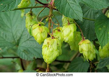hop plant  - hop plant