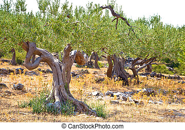 Old olive trees plantage in Dalmatia, Island of Brac,...