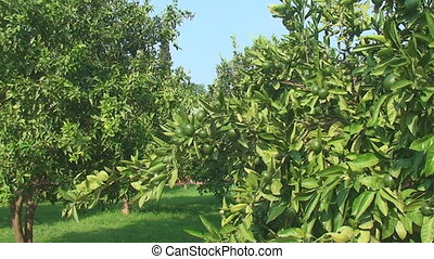 green lime tree growing fresh citrus - Trees with green...
