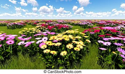 African Daisies shaking and quivering on a breeze - African...