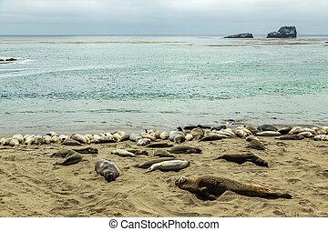 Piedras Blancas Elephant Seals - Male elephant seals are...