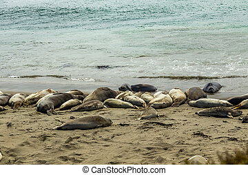 Piedras Blancas Elephant Seals - Male elephant seals are...