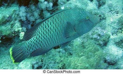Napoleon Fish in Sea. Big and beautiful napoleon fish...