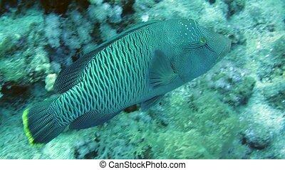 Napoleon Fish in Sea. Big and beautiful napoleon fish...