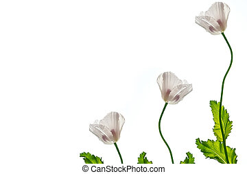 spring flowers poppy isolated on white background.