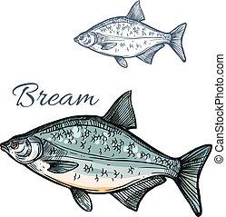 Bream fish vector isolated sketch icon - Bream sketch vector...