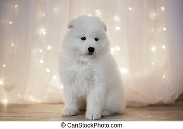 Samoyed Puppies - Samoyed puppy on a background of LED...