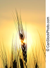 Golden Silhouette of Wheat Stem - High resolution image of...