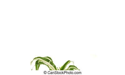Rotating plant dracaena isolated on white background. -...