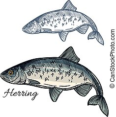 Herring fish vector isolated sketch icon - Herring sketch...