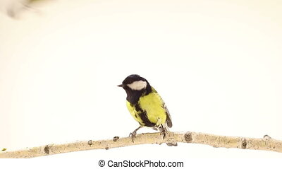 titmouse  isolations on a white background in studio