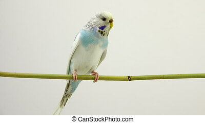Budgie on the white background