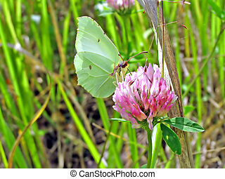 butterfly on dutch clover