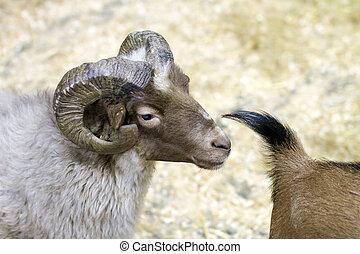 Mascota, imagen, carnero,  goat, cuernos