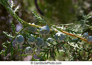unripe cones or seeds on the branch of cypress.