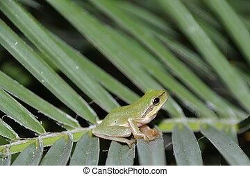 Tree frog - gorgeous european tree frog on palm tree leaves