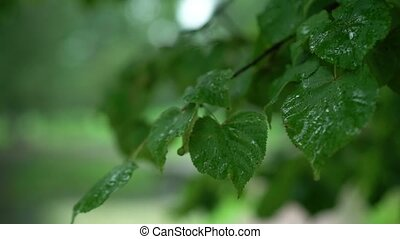 Wet leafs of tree after rain at cloudy day