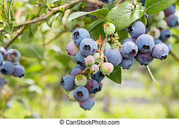 north blue blueberry bush with ripe fruit - closeup of north...