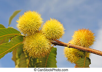chestnut - many chestnuts on the tree over the blue sky...