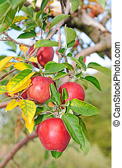 apple tree - many red apples on the branches