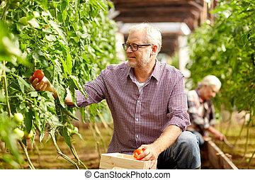 old man picking tomatoes up at farm greenhouse - farming,...