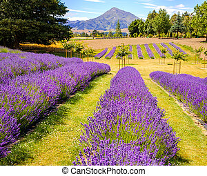Detail of lavender field with mountains backgroundNew...