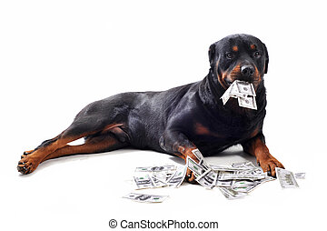 rottweiler and dollars - Funny rottweiler holds dollars in...