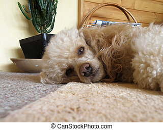poodle - nice detail of poodle on brown carpet