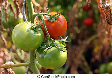 Growing Tomatoes - A photo of a one ripe and one green...