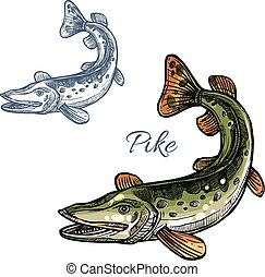 Pike fish vector isolated sketch icon - Pike sketch vector...