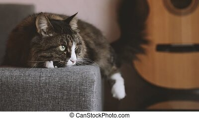 cat resting on the sofa near a guitar - cat lying on the...