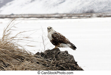 Rough Legged Hawk. Photo taken at Lower Klamath National...