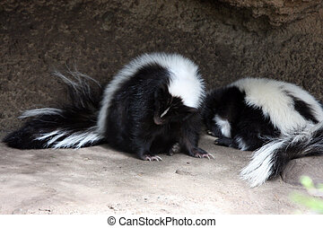 Striped Skunk. Photo taken at Northwest Trek Wildlife Park,...