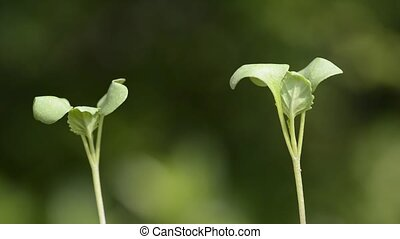 Chinese cabbage sprouts - Two green chinese cabbage sprouts...