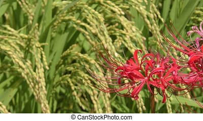 Red spider lily flower - Close up red spider lily flower in...