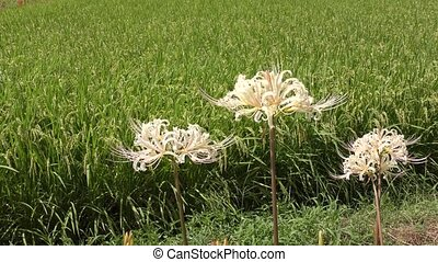 White spider lily flowers in front of green rice field