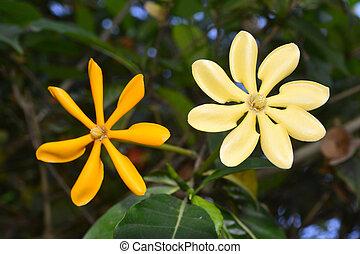 dorado,  Gardenia