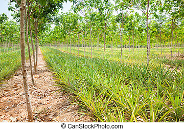 Pineapple plant field in rubber garden in Thailand.