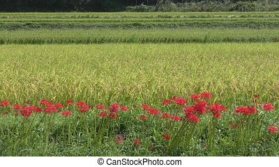 Lined red flowers - Sideways lined red spider lily flowers...
