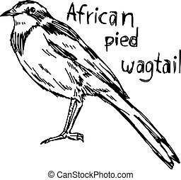 african pied wagtail - vector illustration sketch hand drawn...