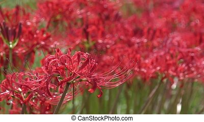 Red spider lily flower in front of unfocused red flowers