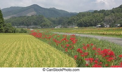 Lined red flowers - Roadside of lined red spider lily...