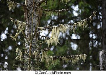 Usnea barbata, old man's beard. Fungus living in symbiosis...