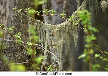 Usnea barbata, old man's beard fungus on a pine tree branch