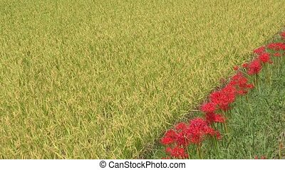 Lined red flowers - Diagonally lined red spider lily flowers...