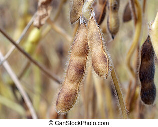 Soybeans Ready for Harvest - Ripe soybeans ready for harvest