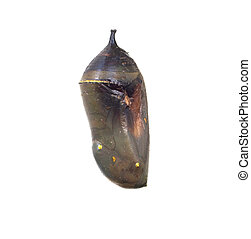 Monarch Butterfly Danaus plexippus Chrysalis - An isolated...